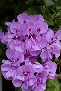Flores7_LND0163