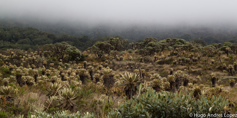 Frailejon valley