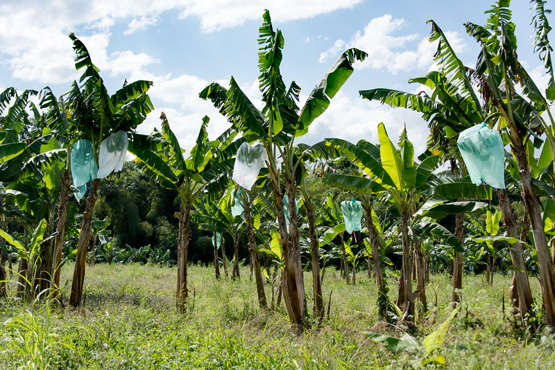 Plantain plantation near Hacienda Bambusa