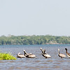 Pelicans at the delta of the Rio Negro near Cartagena