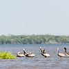 Pelicans at the delta of the Rio Negro near Cartagena
