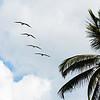 pelikans at the beach of Palomino / Colombia
