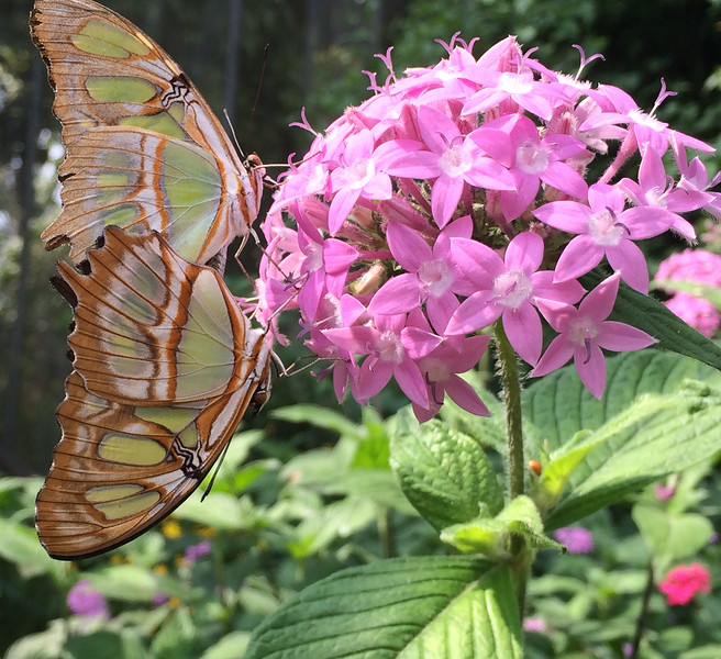 Butterflies mating at the farm