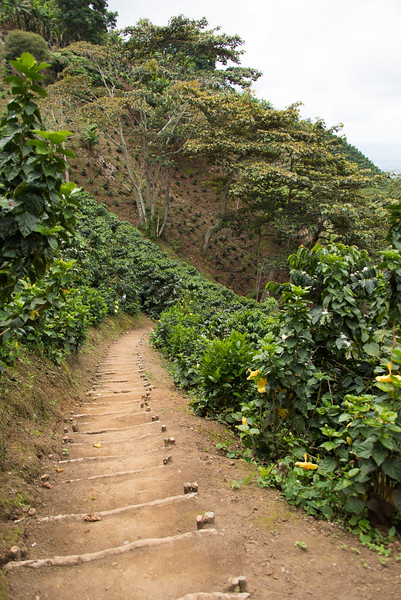 Path to the coffee plants at San Alberto