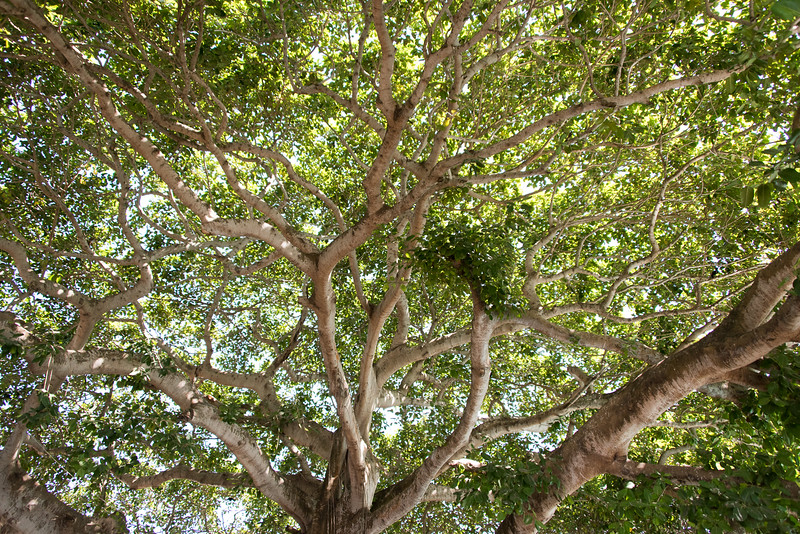 Giant tree at Hotel Isla del Encanto, outside of Cartagena