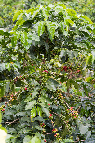 Coffee plant, San Alberto plantation