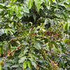 Coffee plant, San Alberto plantation