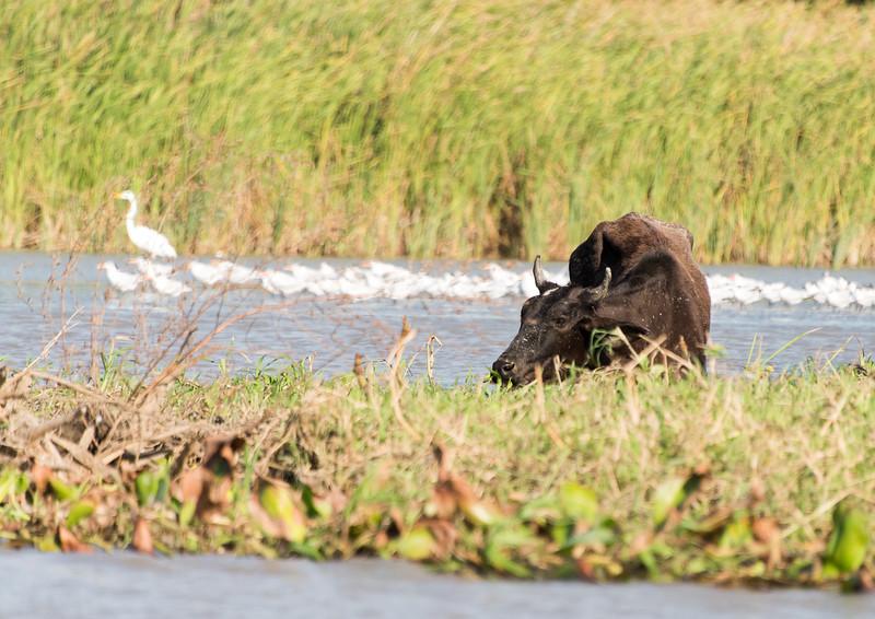 Cow grazing in the Rio Negro river delta near Cartagena