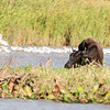 Cow grazing in the Rio Negro river delta near Cartagena