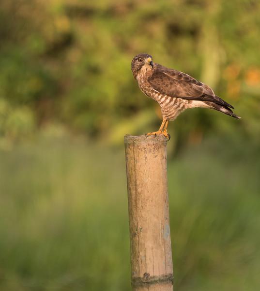 Falcon near Hacienda Bambusa