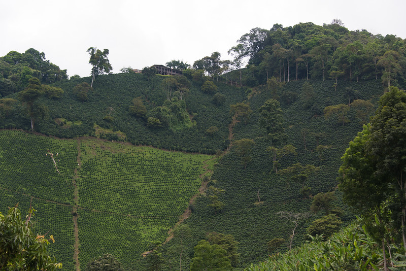 Coffee plants cover the hillsides at San Alberto. The owner's house is at the top of the hill.