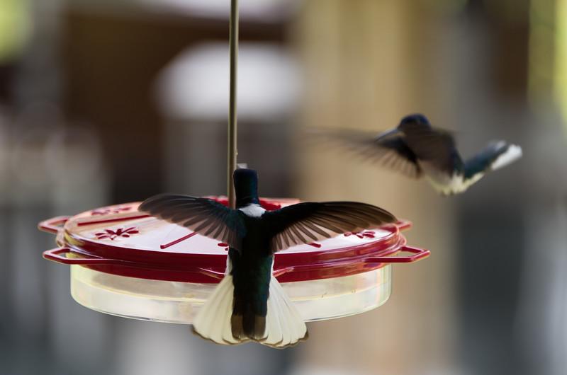 Hummingbirds at Hacienda Bambusa