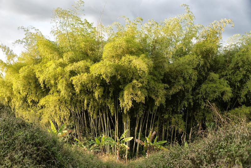 Bamboo stand near Hacienda Bambusa