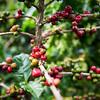 coffee plant - Armenia / Colombia