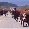 herding cows on the way to Crawford from Gunnision on CO 92, one of the more challenging roads in CO.
