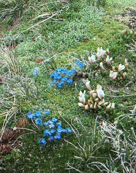 Alpine Tundra Flowers Rocky Mountain National Park