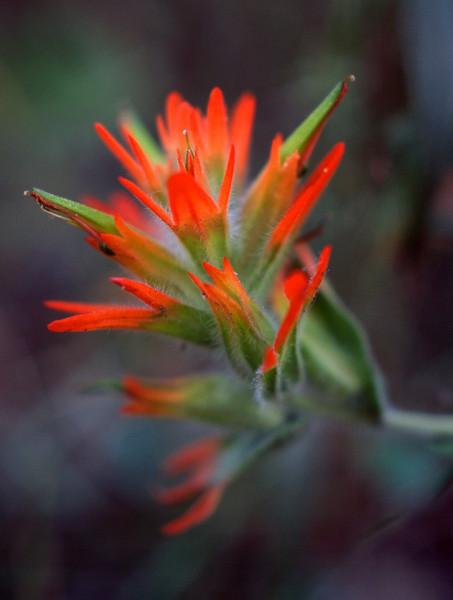 Indian paint brush.  San Juan National Forest. Colorado.