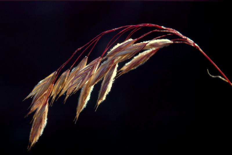 Grass seeds. San Juan National Forest, Colorado.