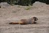 Marmott on the road.
