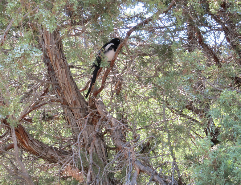 We stopped for lunch at a restaurant on the shore of the reservoir. Near there, we saw this magpie in a tree.