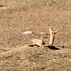 Prairie Dog, Rocky Mountain Arsenal, Denver, CO