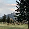 Elk in Estes Park, CO keeping the golf course mowed.