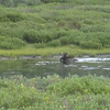 Moose having a swim in the lake.  Shot with maximum zoom from great distance, I'm very surprised that this one came out so well.  Sometimes one gets lucky.