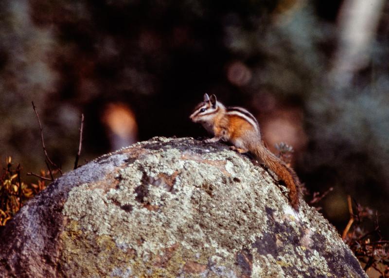 ground_squirrel-t10135