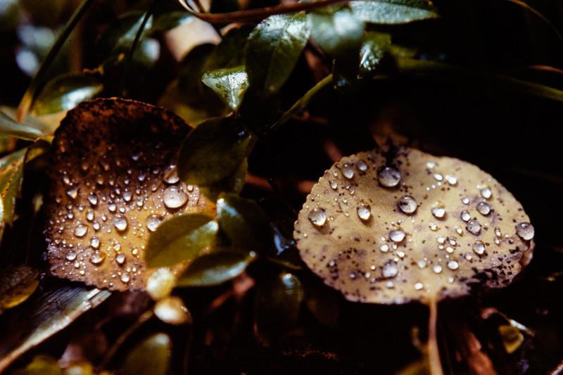 aspen_leaves+dew-t10137