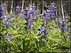 Lupines G5 6929