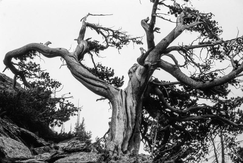 alpine_tree-t0060