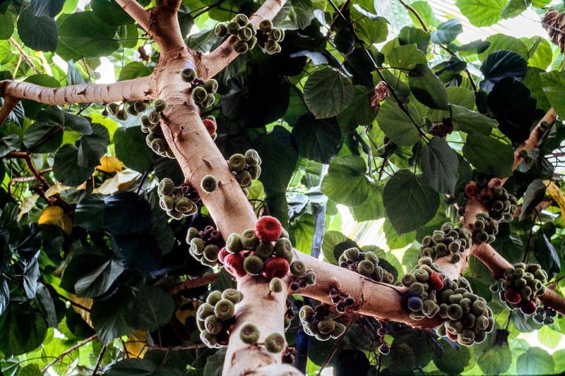fig_tree-t0067