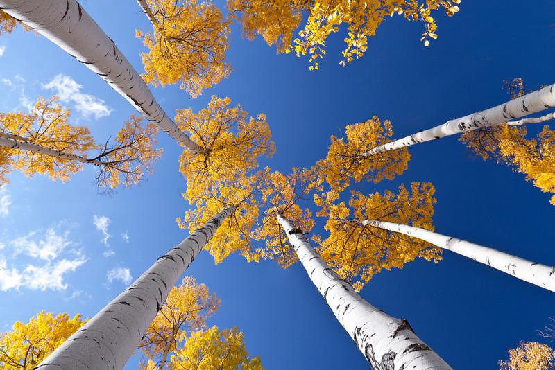 Aspens against a blue sky, Colorado