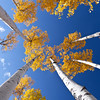 Aspens against a blue sky, Colorado