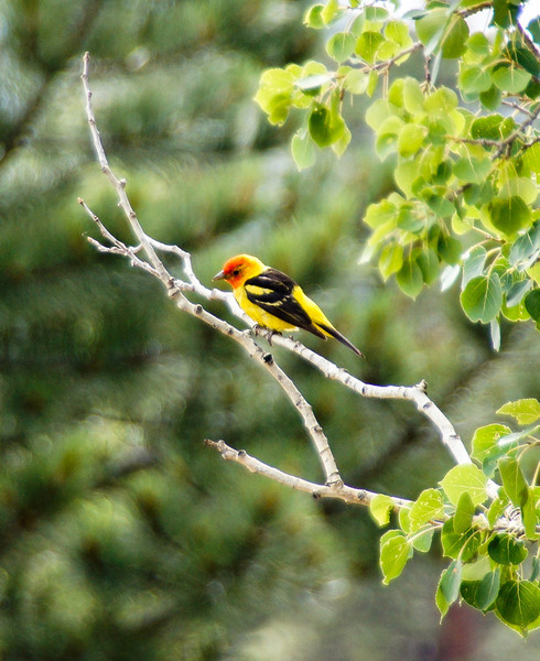 Scarlet Tanager, Rocky Mountain National Park