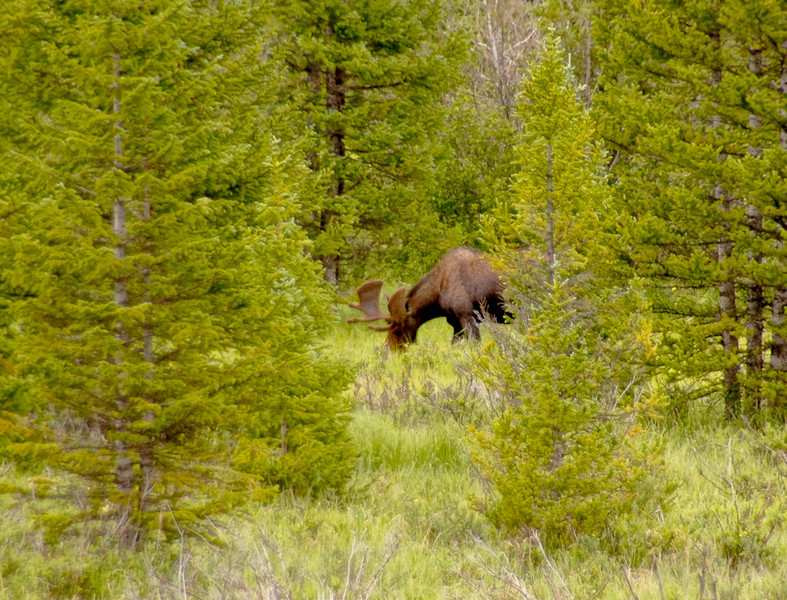 Bull moose, Rocky Mountain National Park