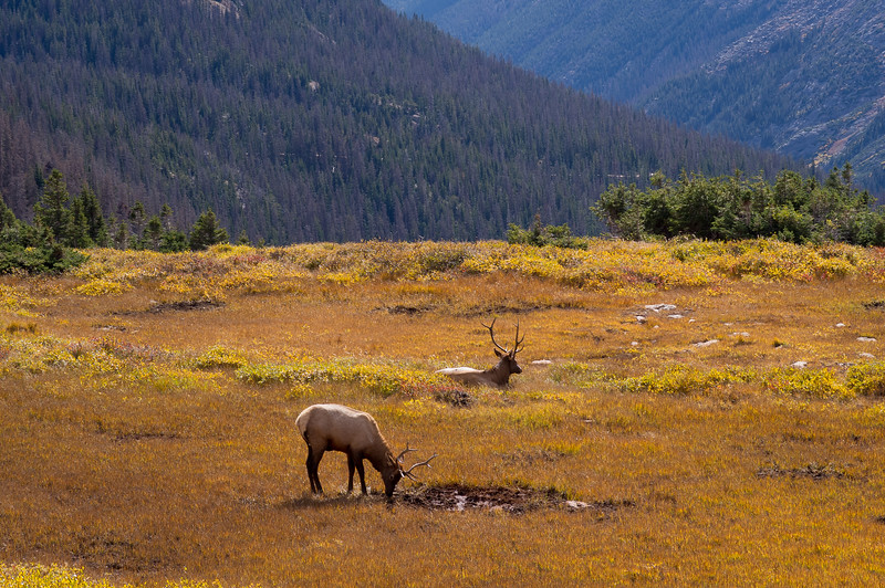 Elk on the high tundra. Trail Ridge Road. Rocky Mountain National Park, Colorado.