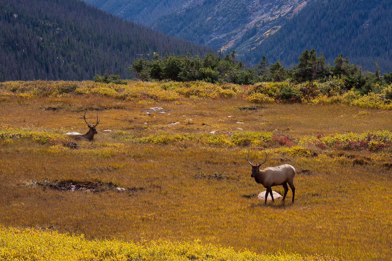 Elk on the high tundra. Trail Ridge Road. Rocky Mountain National Park, Colorado.