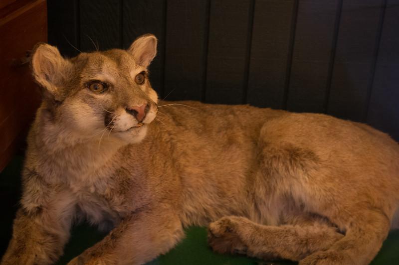 Mountain lion seen in shop window; Steamboat Springs, Colorado.