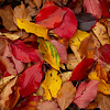 Fallen leaves, fall color; gardens at the Yampa River Botanic Park, Steamboat Springs, Colorado.
