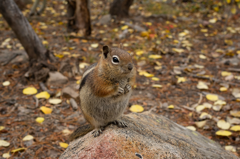 ground_squirrel-9276