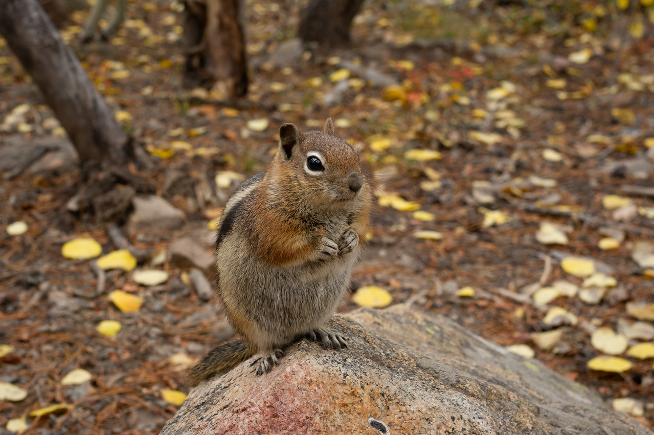 """This little beggar has perfected his routine: """"I'm so cute, give me a peanut!"""" I believe this is a ground squirrel. lRocky Mountain National Park, Colorado."""