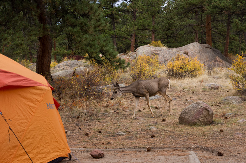 A deer walks past our tent in the Moraine Campground, Rocky Mountain National Park, Colorado.