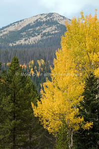 Aspens at Autumn - Nederland, CO