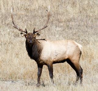 Big Horn Elk