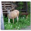 Mule Deer Visiting our Cabin
