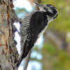 Three Toed Woodpecker (101247081)