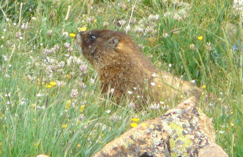 Yellow-bellied marmot (101269343)