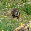 Yellow-bellied marmot (101269344)