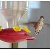 rufous hummingbird;